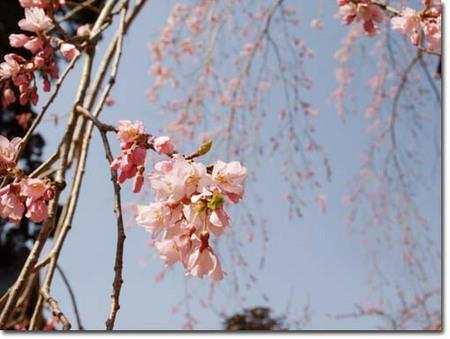 10美人になる方法 しだれ桜.jpg
