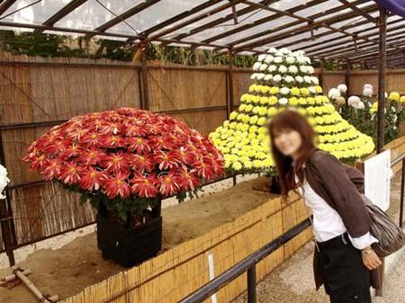 12美人になる方法 見事な菊.jpg