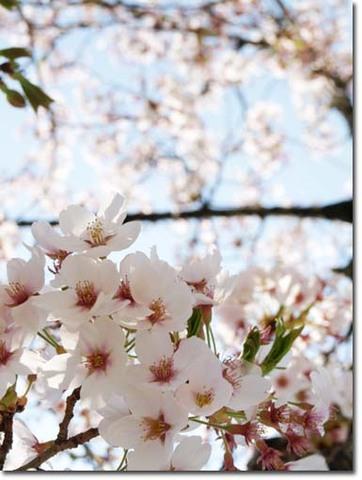14美人になる方法 桜1.jpg