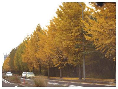 16真っ黄っ黄のいちょう.jpg