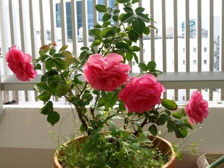 1 バラ鉢植え.jpg