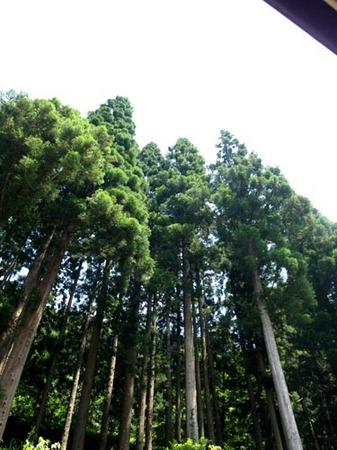 1 富山 杉.jpg