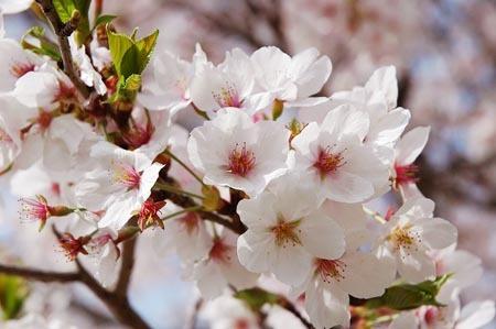 1 桜.jpg