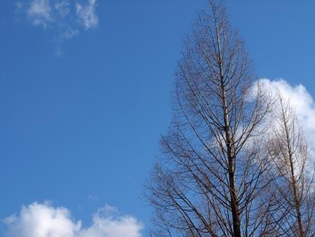 1 青空とポプラの木.jpg