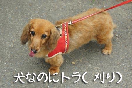 1散歩 犬なのにトラ.jpg