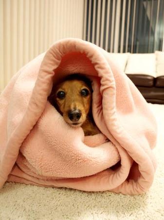 1日記モモ毛布にくるまる.jpg