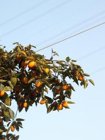 1栗 柿.jpg