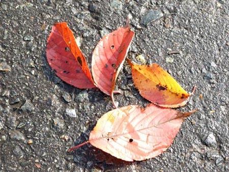 1栗 紅葉した葉っぱ.jpg