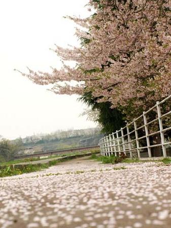 1河原 桜のじゅうたん.jpg