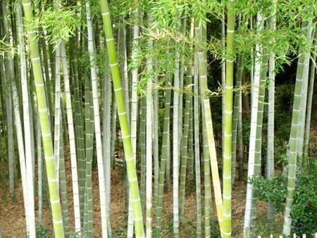 1縮景園 竹.jpg