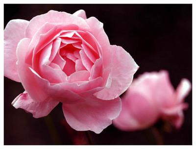 7祖母が育てたバラ.jpg