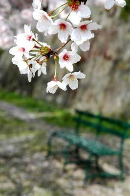 8 美人 桜.jpg