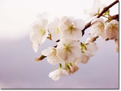 8美人になる方法 桜.jpg