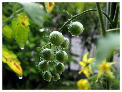 9ミニトマト.jpg