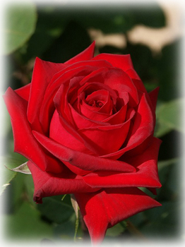 バラは美しいがトゲがある.jpg