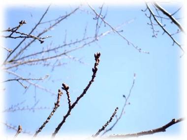 桜はまだつぼみ.jpg