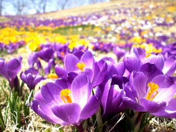 紫クロッカス.jpg