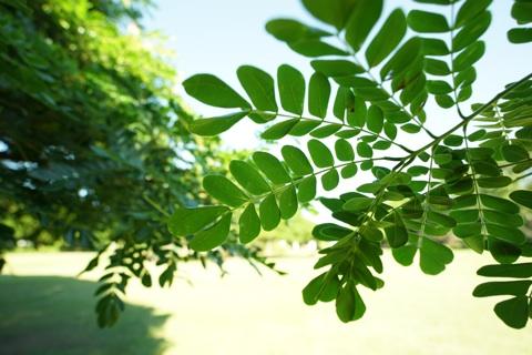 モンキーポッドの葉っぱ.jpg