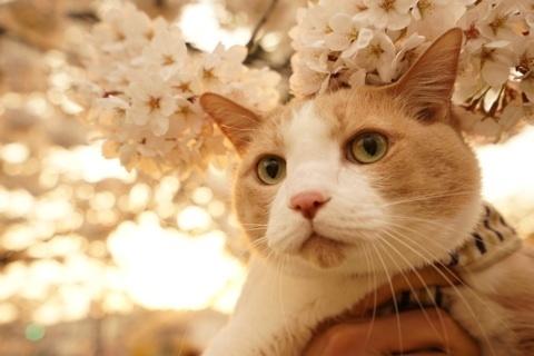 桜 マイケルと桜.jpg