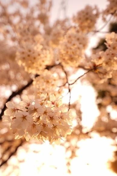 桜 桜夕日色.jpg