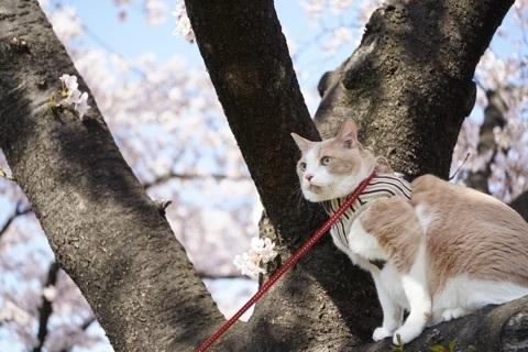 桜・マイケル木の上.jpg