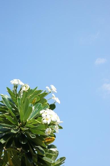 白い花と青空.jpg