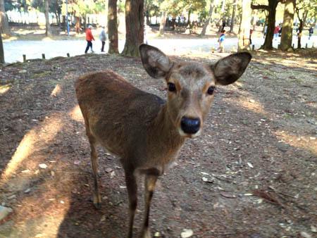 1大阪 ちょっと小さな鹿.jpg